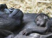 Gorilla addio