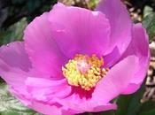 """Festa della rosa peonia Sesta edizione S'orrosa padenti"""" Aprile 2012 Seulo"""