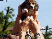 cuccioli Beagle liberati, Green Hill, arrestati. Segnala dissenso solidarietà