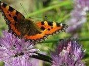 Farfalle fiori
