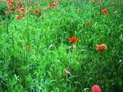 Poppies Mode: (#2) poppies panorama