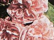 "Vecchie Rose...2° gruppo ""Rose Bourbon"""