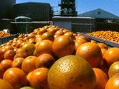 Aranciata: arancia, 100% sfruttamento lavoratori