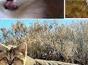 gatto delle sabbie (Felis Margarita)
