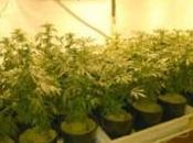 Ascoli Satriano: ragazzino coltivava erba