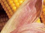 OGM: mais della Monsanto problemi resistenza
