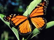 Farfalle monarca usano piante curare prole