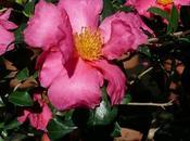 fiori frutti della Camellia