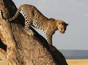 L'intelligente fuga leopardo dalla prigione leone L'angolo Griot