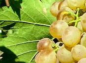 vini sardi: Vermentino Gallura