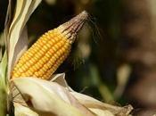 Ogm: bruxelles decreta italia puo' opporsi coltivazioni