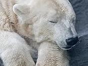 Microritratti: orso dall'anima gentile