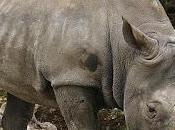 Rinoceronte bianco, sottospecie estinta natura