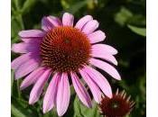 Echinacea, cura dolce contro raffreddore