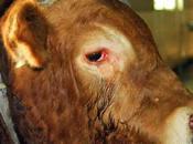 toro piange perchè essere macellato