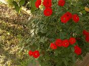 foto piccole rose rosse