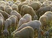 Lunedì pecore