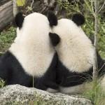 Vienna, panda sono partenza: tornano vivere Cina