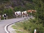 Slalom mucche