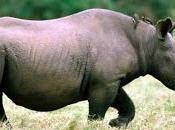 Rinoceronte nero, critico rischio estinzione