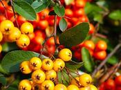 Colori d'autunno: bacche gialle Autumn Colors: yellow berries