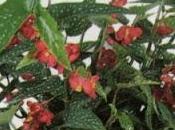 "Begonia ""Rosea-picta"""