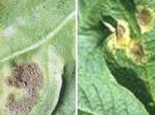 Quando fare trattamenti contro peronospora vite, pomodoro, patata, rosa