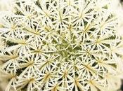 Semina Epithelantha micromeris