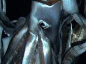 Filmato calamaro gigante habitat naturale