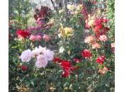 Corso potatura rose: sono roseti toscani rinomati