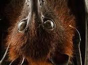 volpe volante:pipistrello gigante.