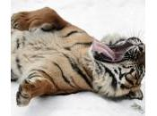 tigre rotola sulla neve: foto dallo Rotterdam