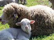 Sopravvissana, pecora salvare