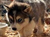 Foto sfondi lupi cuccioli