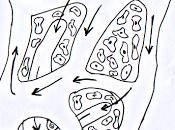 sistema linfatico: circolazione linfatica