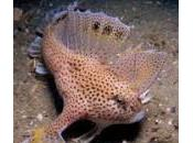 Handfish: nuova specie