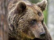 Abbattuto Svizzera l'orso trentino