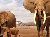 Elefante africano, grande mammifero terrestre
