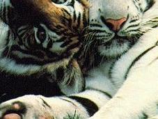 India Nuovo regolamento proibisce l'eliminazione delle tigri