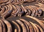Elefanti rischio estinzione Africa centrale