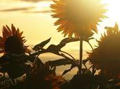 We're sunflowers