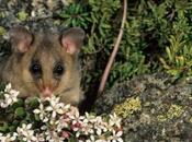 L'Opossum pigmeo rischio d'estinzione causa global warming