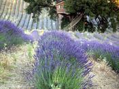 """Mangiare erba significa brucare: air"""" erbe aromatiche (dall'Angelica alla Melissa)"""