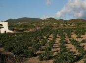 Pantelleria, nuovo allarme conigli stanno divorando viti