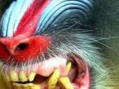 Mandrillo: l'uomo scimmia