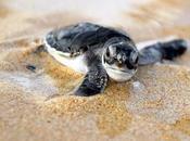 Milioni tartarughe marine Olive Ridley sulla spiaggia indiana Gahirmatha