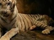 L'olocausto animale nello indonesiano Surabaya Polmoniti, tubercolosi malattie gravi stanno decimando animali