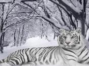 gene segreto delle tigri bianche