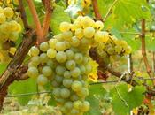 Ecco perchè Chardonnay così diffuso mondo: versatilità