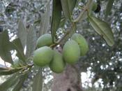 Olio extra vergine oliva Sicilia, necessario valorizzarlo